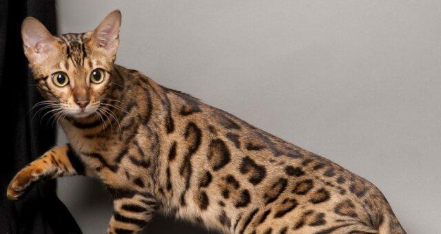 Самые дорогие породы кошек: редкие кошки
