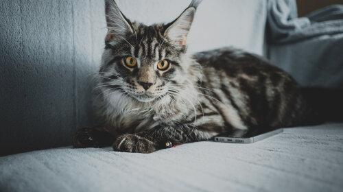 Мейн-кун: зухвалий котячий велетень або милий котик? Дивіться і визначайте самі (добірка фото)