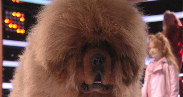 тибетський мастиф, фото, відео, порода