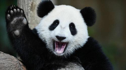 В бельгийском зоопарке панда родила близнецов (ФОТО)