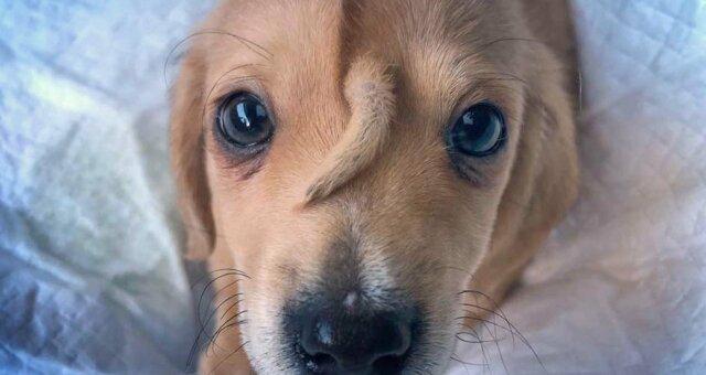 В США появился «щенок-единорог»