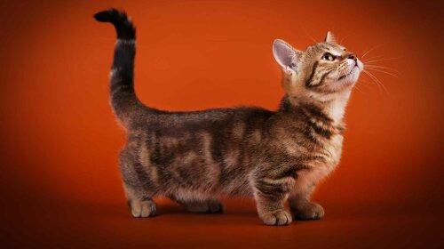 Коротколапі кішки: унікальні породи кішок