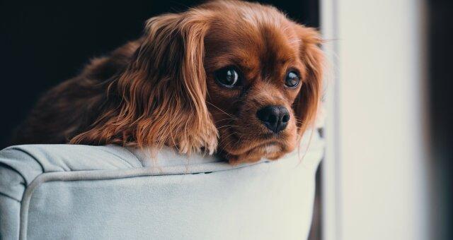 Породи собак, які заборонено тримати в квартирі