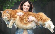 Самые крупные породы кошек: кошки