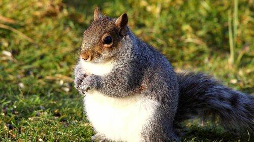 Фотограф запечатлел самую толстую белку в Великобритании (ФОТО)