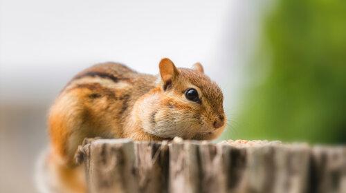 Бурундук: милый и смешной зверек (фото)