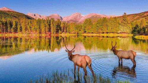 rocky-mountain-national-park-elk-fawn-copy