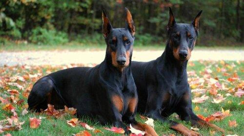 Собаки-солдати: ТОП-6 захисників у світі