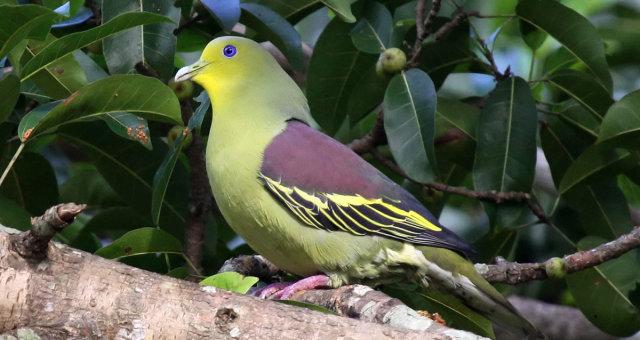 Thimindu_2009_12_31_Kaudulla_Pompadour_Green_Pigeon_1