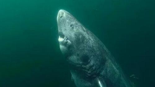Вчені виявили гігантську 500-річну акулу