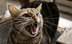 Агресивні породи кішок, злі кішки