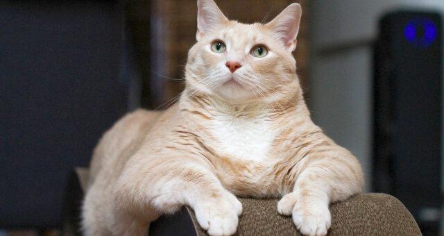 Найтовстіший кіт