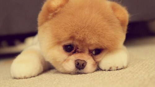 породи собак, схожі на плюшеві іграшки