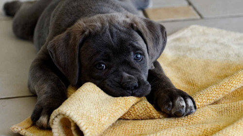 cane-corso-puppy-black