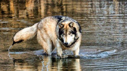 volk-ohotitsya-na-reke