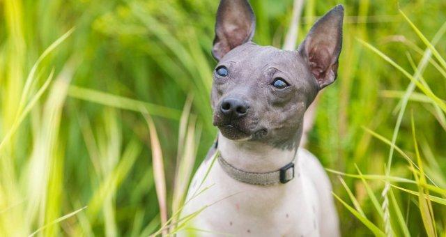Вымирающие породы собак, редкие собаки