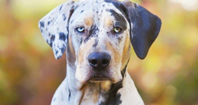 Нечисленні породи собак: дуже рідкісні собаки королівських кровей