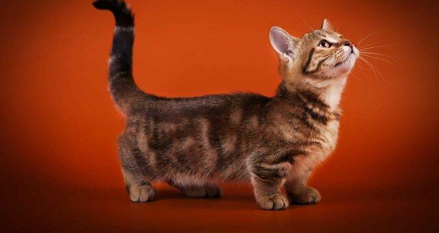 Коротколапые кошки: уникальные породы кошек