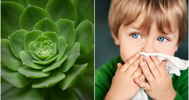 Комнатные цветы, которые помогут вылечить насморк