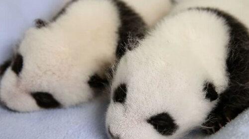Новорожденная панда (фото): что может быть милее?