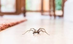 common-house-spider-on-the-floor-in-a-home-860254376-5afb557c8e1b6e0036b720ff-e1528036029865_8052640