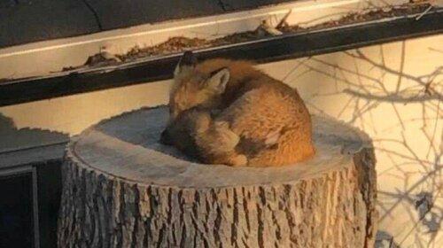Спящая на пне лисичка рассмешила американцев и не только