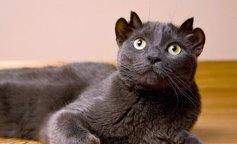 Кіт з двома парами вух
