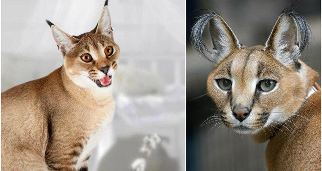 Три новые необычные породы кошек
