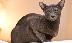 """Сеть рассмешила самая """"ушастая"""" кошка в мире (фото и видео)"""