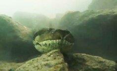 У Бразилії дайвери зустріли під водою величезну анаконду (ФОТО)