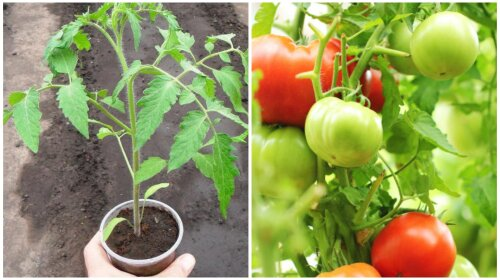 Топ-5 советов как вырастить высокий урожай томатов