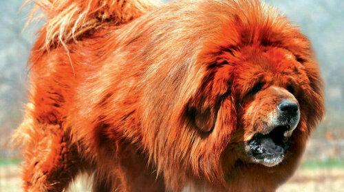 Це найдорожча собака в світі: як виглядає тибетський мастиф — волохатий пес-гігант