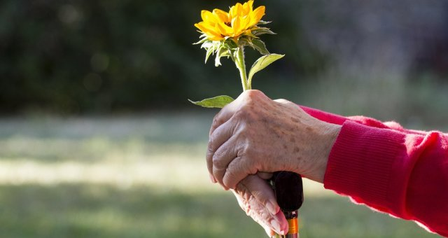 Hands of an old woman with sunflower lying on a walking stick — ibxwop04670723.jpg