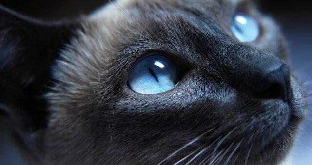 Самые умные породы кошек: кошки