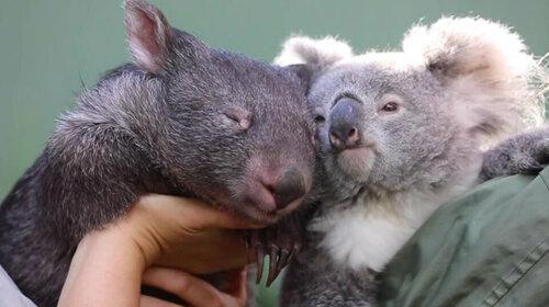 Карантин сближает: как между коалой и вомбатом возникла нежная дружба (ВИДЕО)