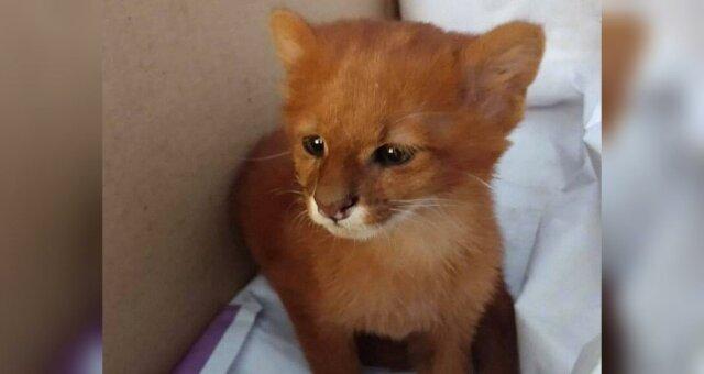 Женщина подобрала котенка, который оказался хищной дикой пумой