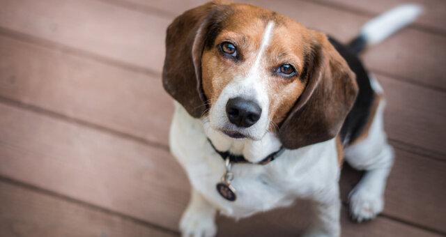 найрозумніші породи собак: собаки з найвищим IQ