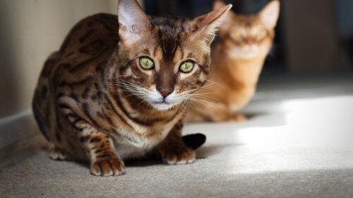 Самые дорогие кошки в мире: породы кошек