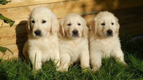 Собаки з ефектом «антистрес»: названі кращі породи собак