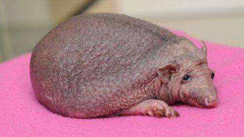 Лисі тварини, яких важко дізнатися без волосся: забавна фотопідбірка