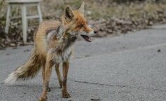 Як живуть дикі звірі в Чорнобильському заповіднику: унікальні фото