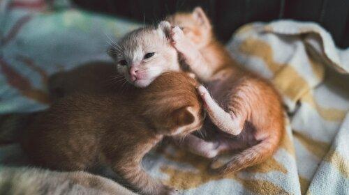 Найніжніші породи кішок