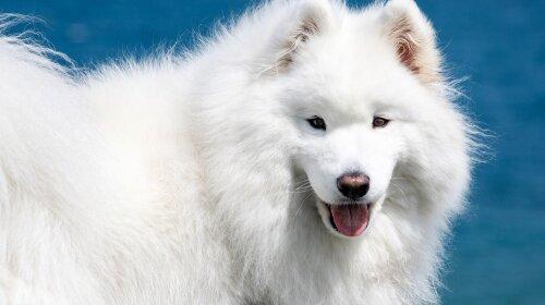 Белые собаки: редкие породы собак