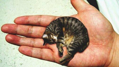 Найменший кіт в світі Містер Пиблз
