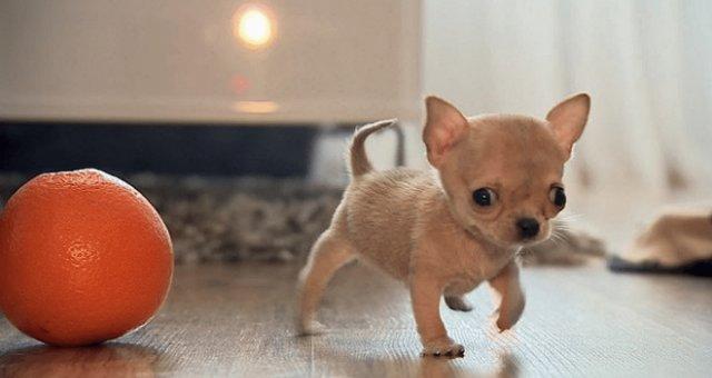 Tudi-Chihuahua-Polska-2