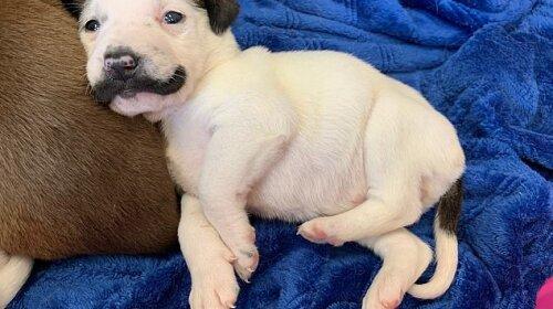 В Америке нашли забавного щенка, который выглядит как копия Сальвадора Дали (ФОТО)