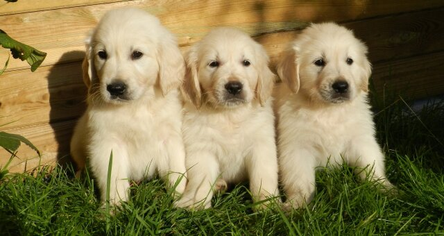 Собаки с эффектом «антистресс»: названы лучшие породы собак