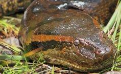 Zelenaya-anakonda-Eunectes-murinus-