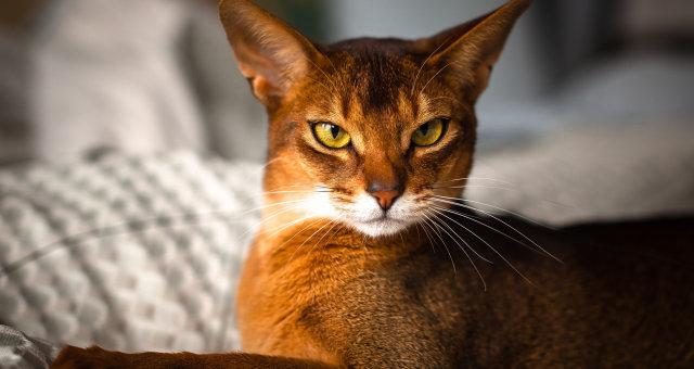 Абиссинская-кошка-2