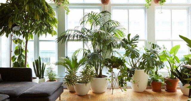 чи здатні кімнатні квіти насправді очищати повітря